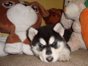Alaskan MalamutesFor Sale for sale