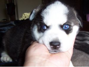 Siberian Husky Puppies For Sale Blue Eyed Wolf Hybrids