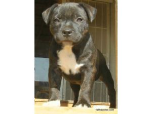 Staffordshire Bull TerrierFor Sale for sale