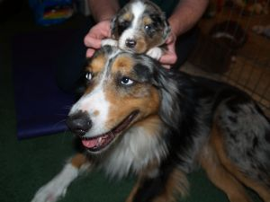 Miniature Australian ShepherdFor Sale for sale