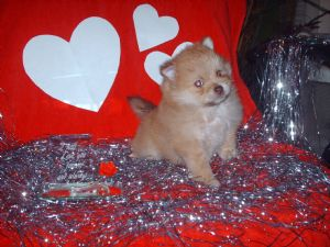 PomeranianFor Sale for sale
