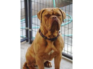 Dogue de BordeauxFor Sale for sale