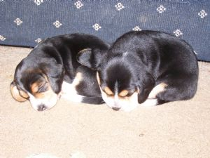 BeagleFor Sale for sale