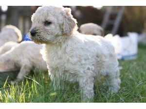 Standard PoodleFor Sale for sale