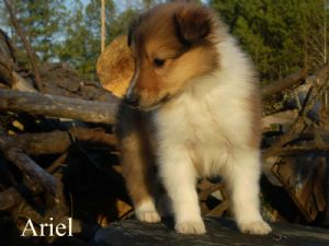 CollieFor Sale for sale