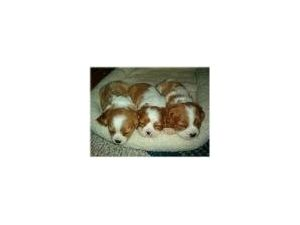 Cavalier King Charles SpanielFor Sale for sale