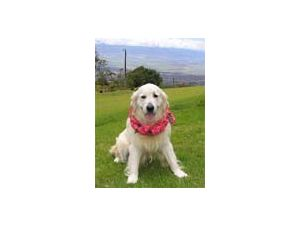 Golden Retriever breeder directory