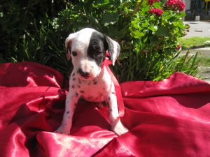 DalmatianFor Sale for sale