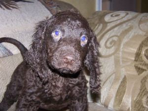 American Water SpanielFor Sale for sale