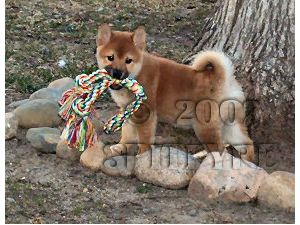 Shiba-Inu