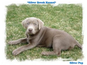 Labrador retriever puppies for sale ga