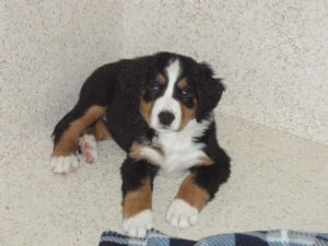 Bernese Mountain Dogs For Sale In Wisconsin