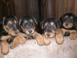 Airedale TerriersFor Sale for sale