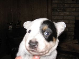 Australian Cattle DogFor Sale for sale