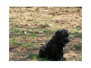 Bouvier des FlandresFor Sale for sale