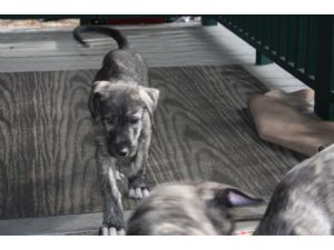 Irish WolfhoundFor Sale for sale