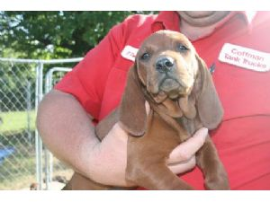 Redbone Coonhound