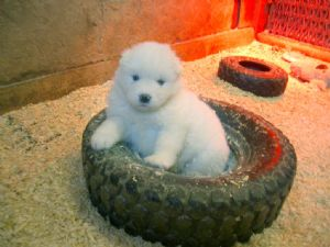 SamoyedFor Sale for sale