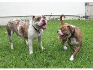 Alapha Blue Blood Bulldogs