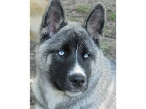 White Husky Puppies With Blue Eyes For Sale;husky ;; Wallpaper ...