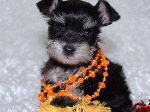 Miniature Schnauzer Puppies on Teacup Toy And Miniature Schnauzer Puppies For Sale  Top Quality  5 Yr