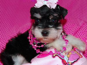 Miniature SchnauzerFor Sale for sale