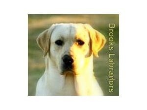 Labrador Retriever stud
