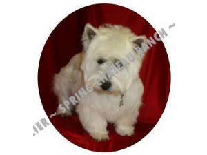 Westie+puppies+for+sale+in+georgia