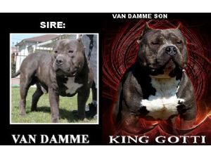 Images Of Ukc Blue Pit Bull American Bully Razors Edge Male 10 Months