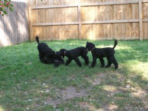 Standard Poodle Puppies For Sale: AKC STANDARD POODLE PUPPIES in