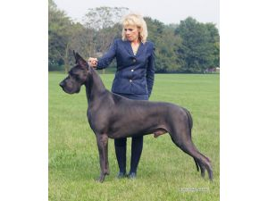 Great Dane Puppies For Sale Great View Dane Female Sired By Biss