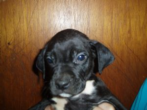 Boxers Puppies For Sale Boxer Pointer Mix Puppies