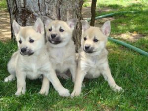 Norwegian Buhund Puppies For Sale Norwegian Buhund Puppies In Michigan
