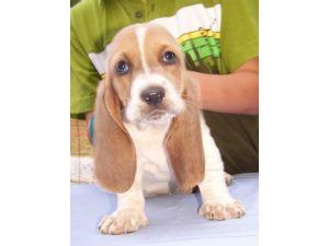 Basset Hound Puppies For Sale: Basset Hound Puppies in
