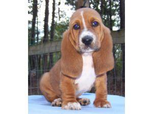 Basset Hound Puppies For Sale Basset Hound Puppies In Alabama Akc
