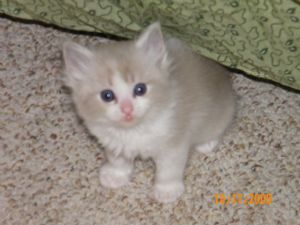 Ragdoll Puppies For Sale: Moore's Mountain Rags