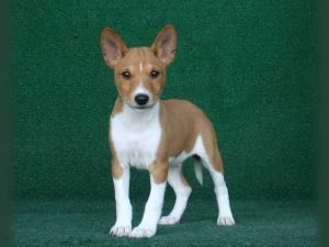 Basenji Puppies For Sale Akc Basenjis Harmony Hounds