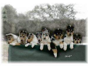 Collie breeder directory