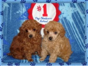 Toy PoodleFor Sale breeder directory
