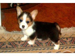 Pembroke Welsh Corgi Puppies For Sale: Pembroke Welsh Corgi