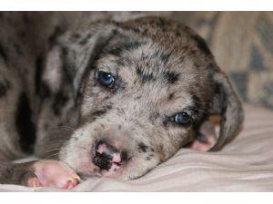 Great Dane Puppies For Sale Reg Great Dane Puppies