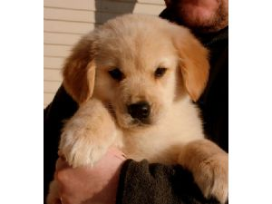 Golden Retriever Puppies For Sale Quality Golden Retriever Puppies