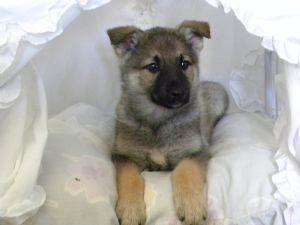 German Shepherd Dog Puppies For Sale Akc Silver Sable German