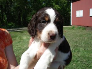 English Springer Spaniel Puppies For Sale: AKC TRICOLOR ROAN and