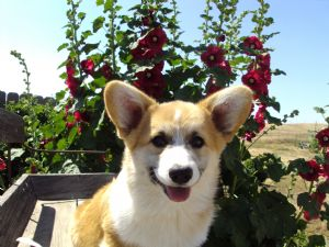 Pembroke Welsh Corgi