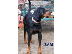 Black and Tan CoonhoundFor Sale breeder directory