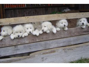 Maremma SheepdogFor Sale for sale