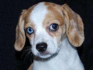 Beagle Puppies For Sale Queen Elizabeth Pocket Beagle Puppies