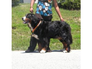 Bernese Mountain Dog Puppies For Sale Bernese Mountain Dogs