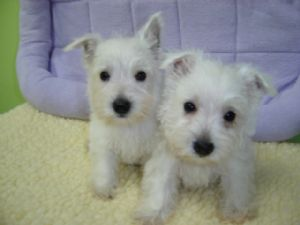 West Highland White TerrierFor Sale for sale